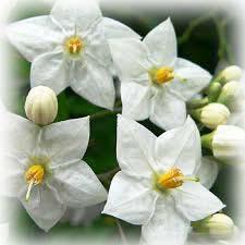 flor colombia - solanum