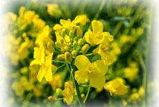 flores chinas