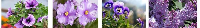 flores lilas y violetas