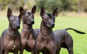 perro egipcio